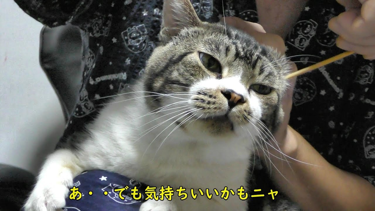 耳 掃除 猫